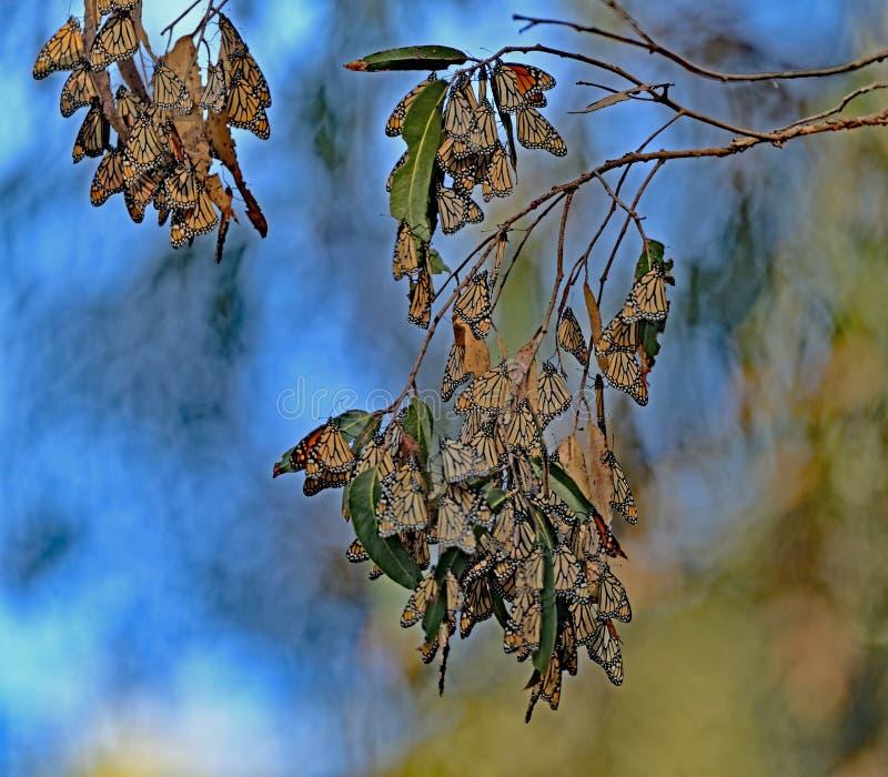 De Cluster van de monarchvlinder stock fotografie