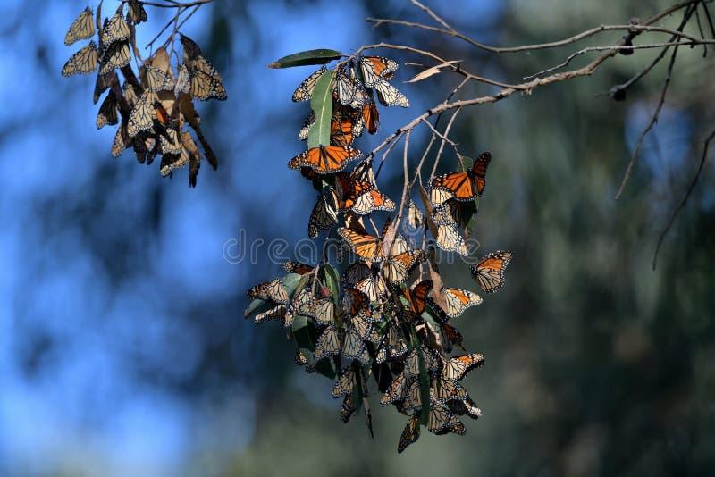 De Cluster van de monarchvlinder royalty-vrije stock afbeelding
