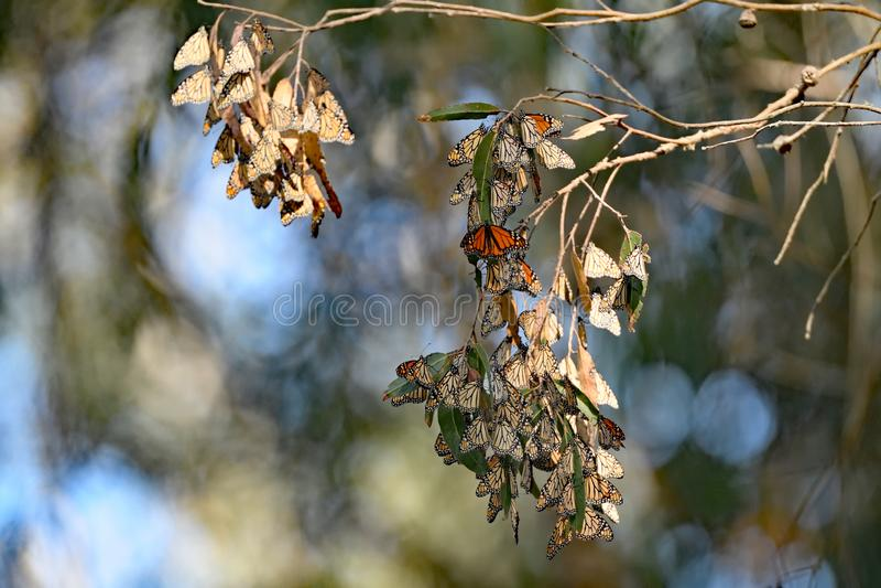 De Cluster van de monarchvlinder stock afbeeldingen