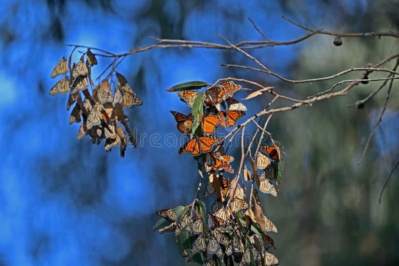 De Cluster van de monarchvlinder royalty-vrije stock foto's