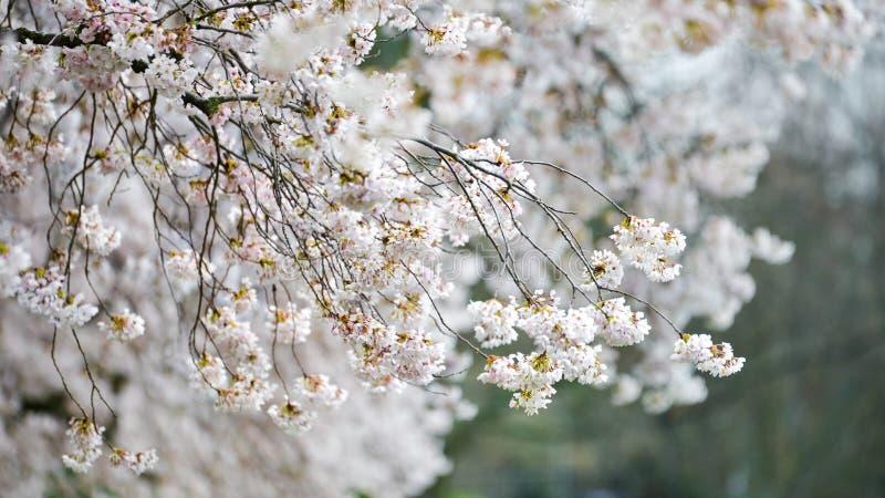 De Clusters van Wit Cherry Blossoms Bending The Branches van de Bloembomen royalty-vrije stock foto's