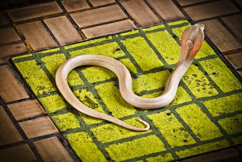 De cobra spreidde de kap uit royalty-vrije stock afbeeldingen