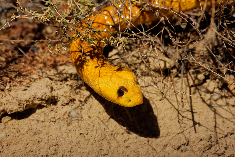 De cobra van de kaap stock foto