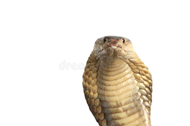 De Cobra van de koning op wit royalty-vrije stock afbeeldingen