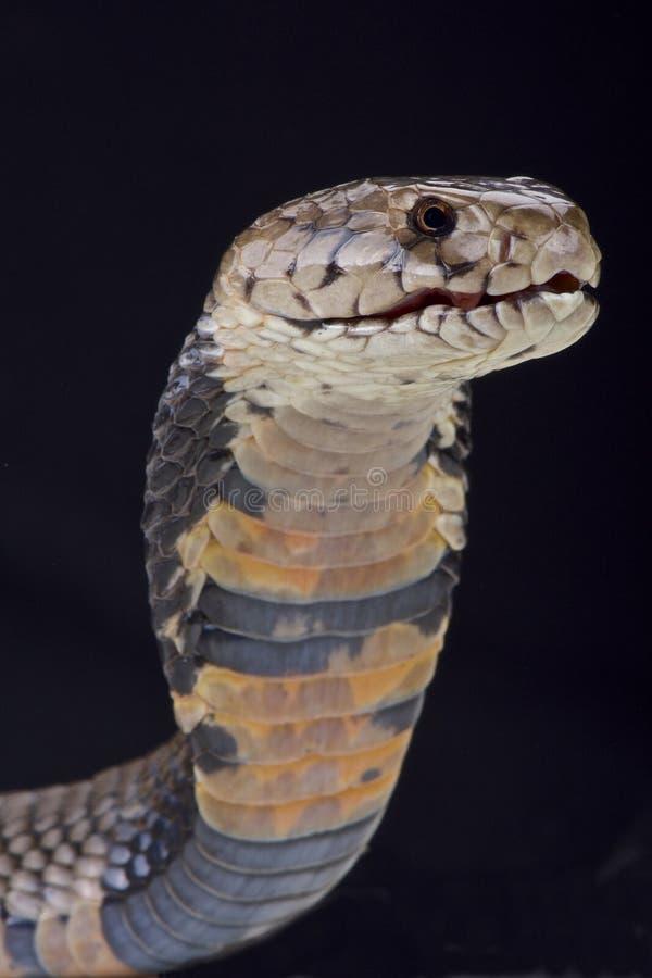 De cobra van het Nubianspuwen (Naja-nubiae) royalty-vrije stock afbeeldingen