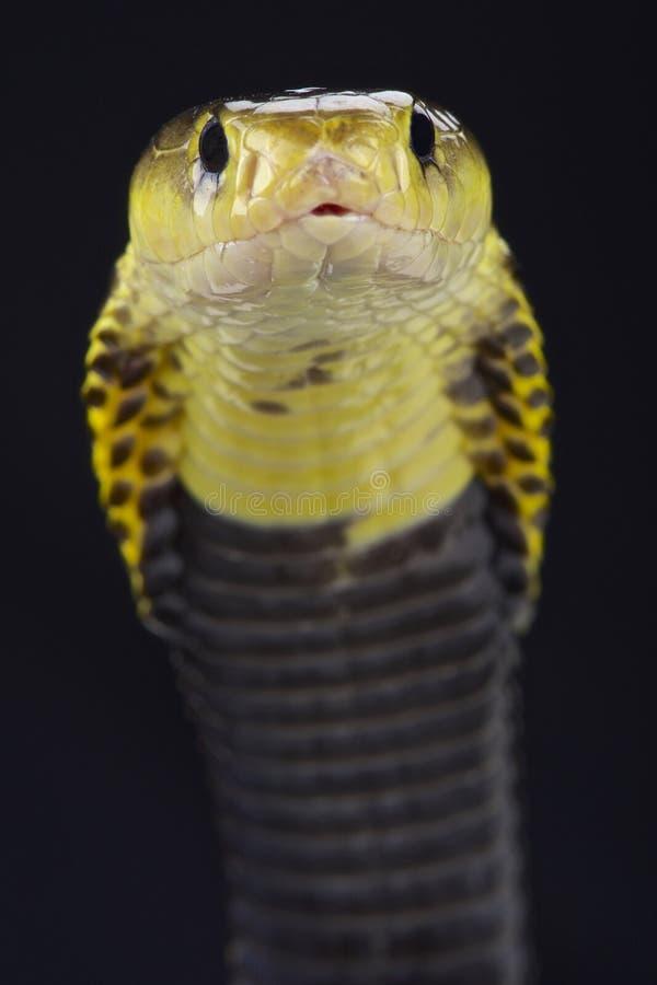 De cobra van het Samarspuwen (Naja-samarensis) royalty-vrije stock foto's
