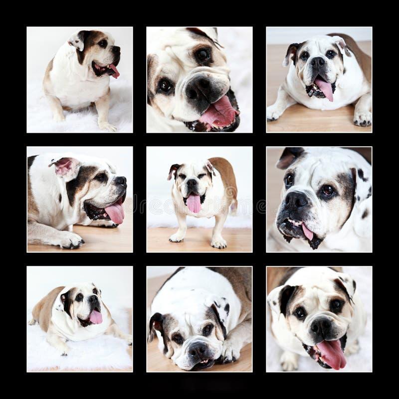 De Collage van de buldog stock foto