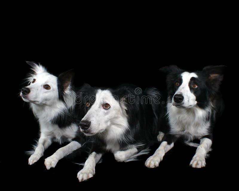 De Collie s van drie Grens royalty-vrije stock foto's