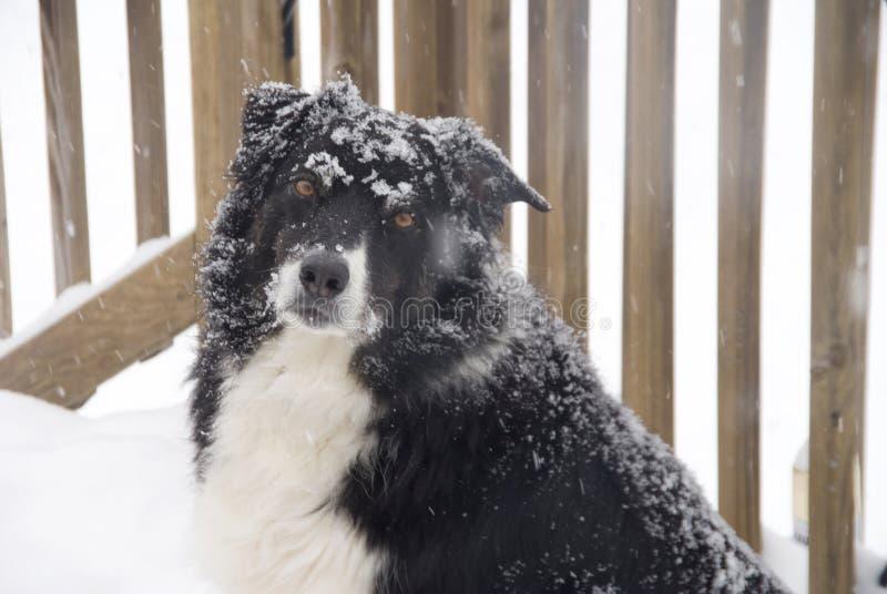 De Collie van de grens in de Sneeuw stock foto's