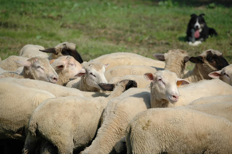 De collie van de grens en troep van schapen stock foto