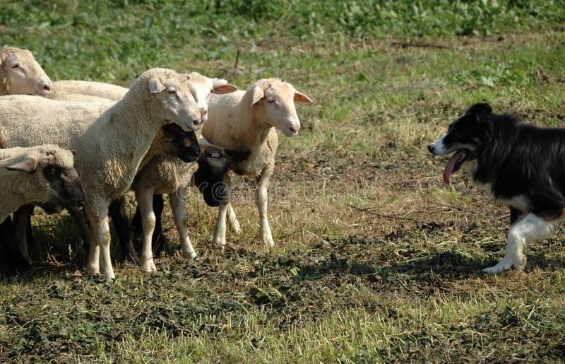 De collie van de grens en troep van schapen stock afbeeldingen