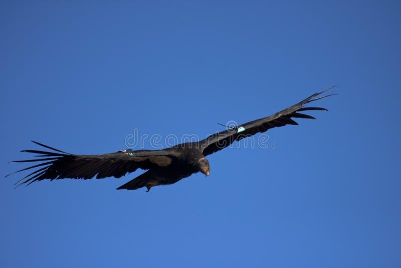 De condor van Californië stock afbeelding