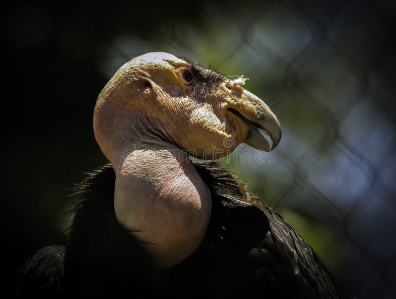 De Condor van Californië royalty-vrije stock fotografie