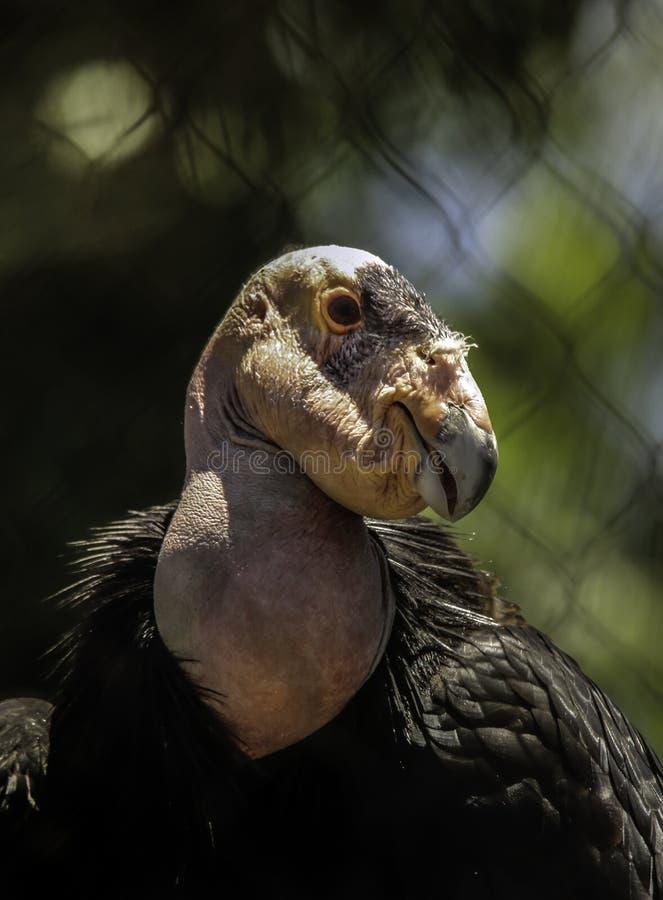 De Condor van Californië royalty-vrije stock foto's