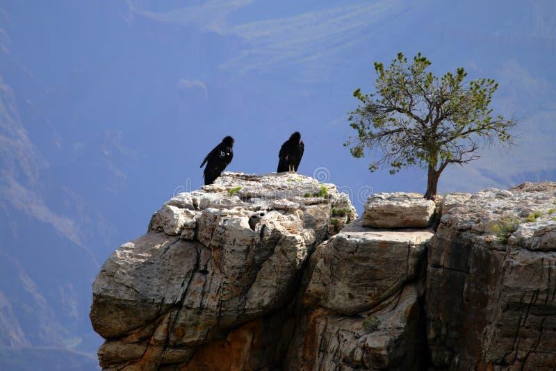 De Condor van Californië bij Grote Canion stock foto