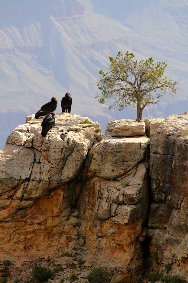 De Condor van Californië bij Grote Canion royalty-vrije stock afbeelding