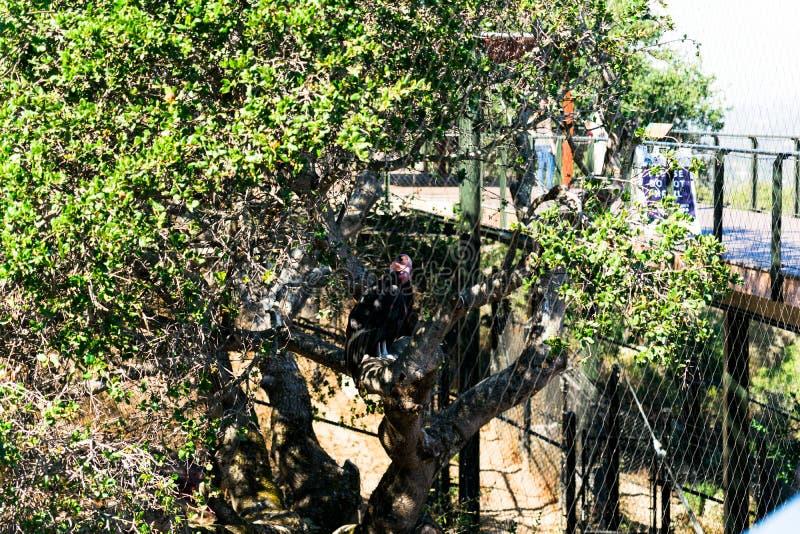 De Condor van Californië - Dier, Levend organisme stock foto's
