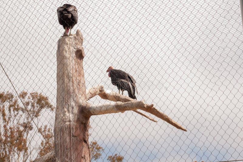 De condor van Californië is een vogel die tot de familie van Catartides behoren, stock foto