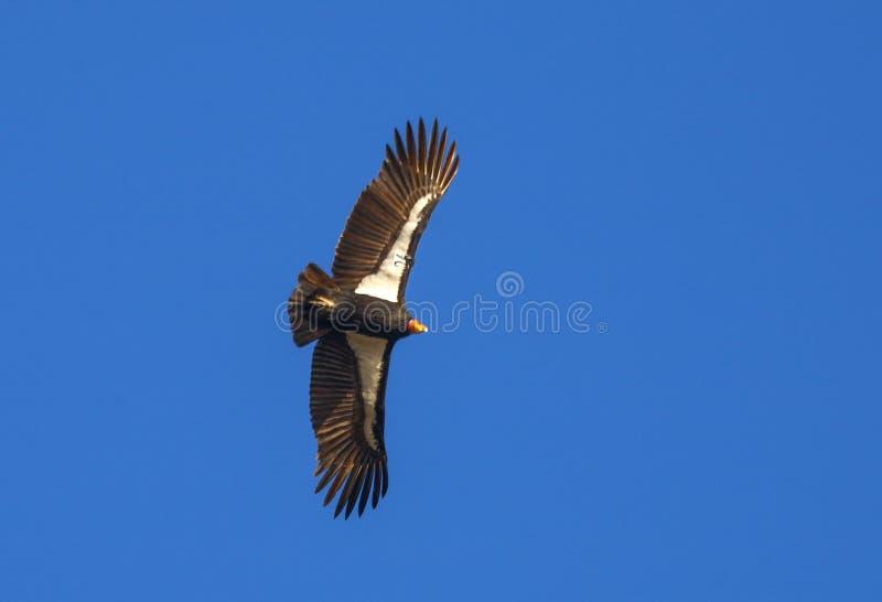 De Condor van Californi? royalty-vrije stock foto