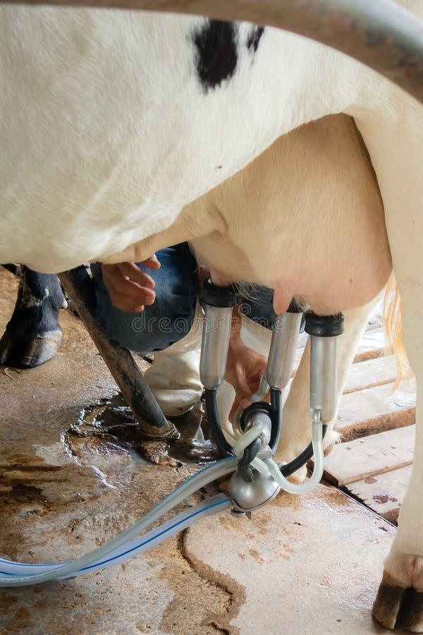 De conjunctuurcyclus van melkkoeien de landbouw stock fotografie