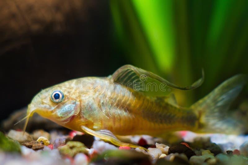 De Corydoraskatvis, onbekende species, schuchtere zoetwatervissen rust op grint in aardaquarium royalty-vrije stock foto's
