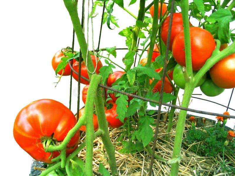 De cosecha propia, vid-madurado, tomates fotografía de archivo libre de regalías