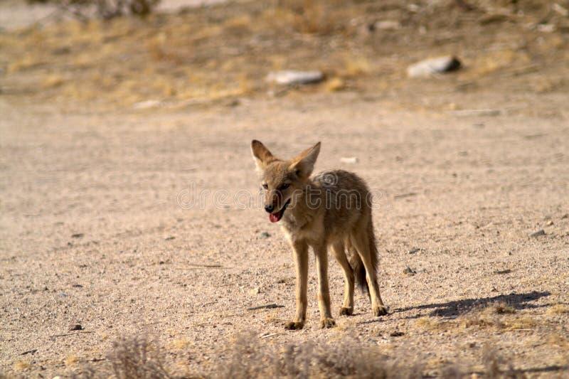 De coyote bevindt zich onder ogen ziend de waarnemer royalty-vrije stock foto