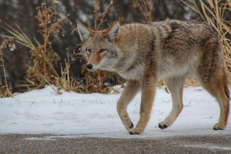 De coyote op snuffelt rond stock afbeelding