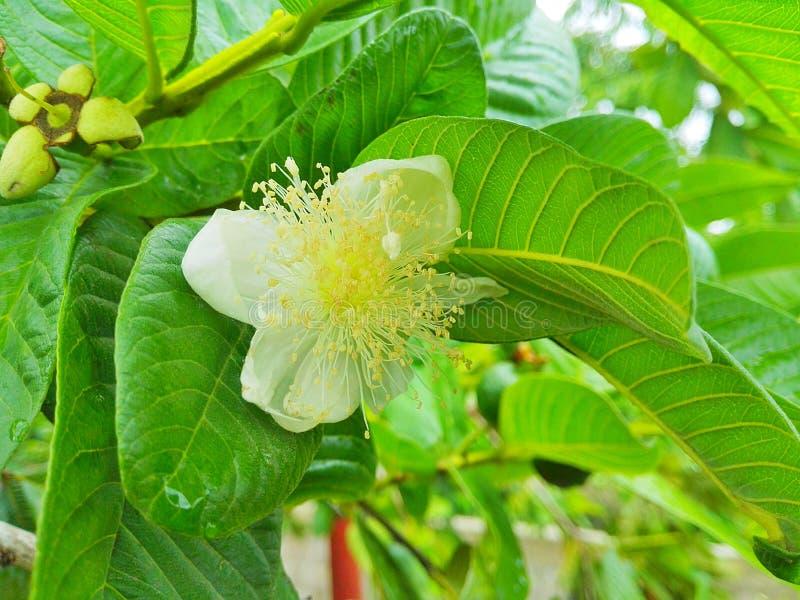 De creoolse bloem van de guaveboom stock foto