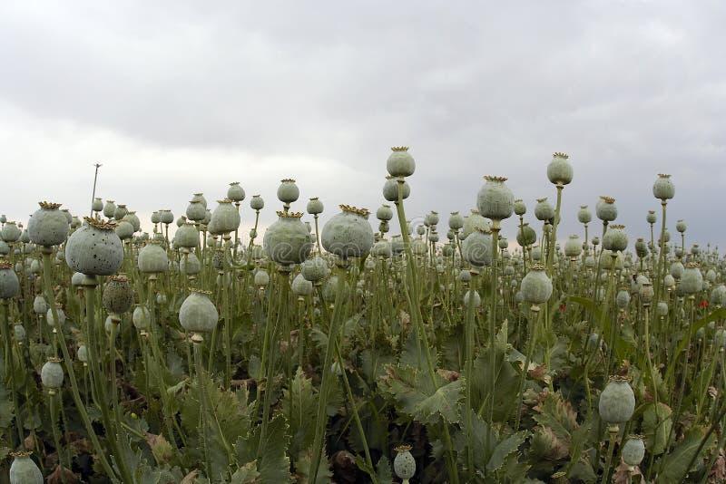 De Cultuur van de opium royalty-vrije stock afbeeldingen