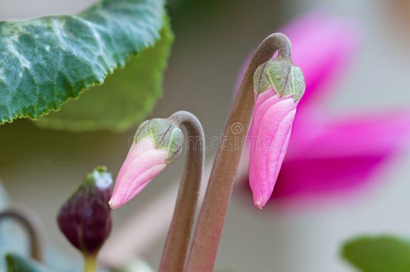 De cyclaam bloeit knoppen macro roze bloemen stock foto
