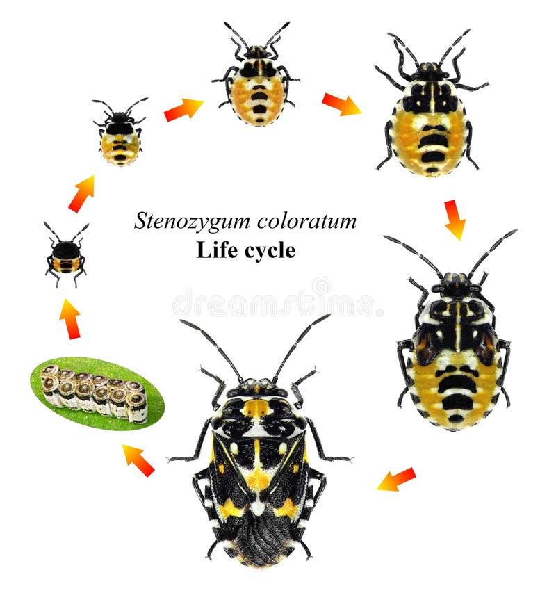 De cyclus van het insectenleven royalty-vrije stock fotografie