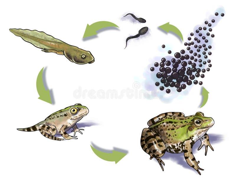 De cyclus van het kikkerleven stock illustratie