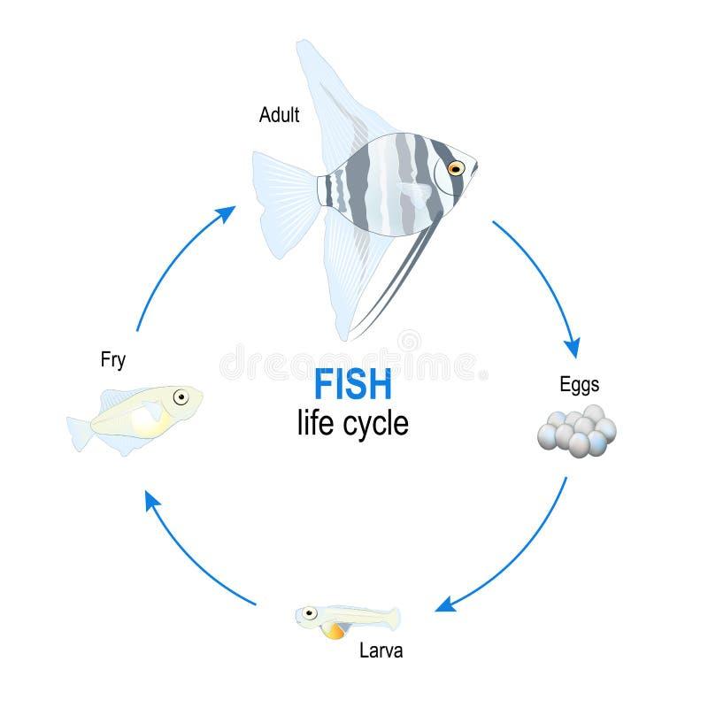 De cyclus van het vissenleven van eieren aan larve, gebraden gerecht en volwassen Zeeëngel royalty-vrije illustratie