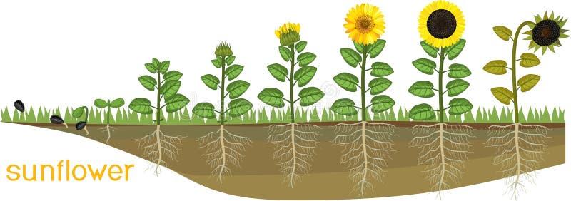 De cyclus van het zonnebloemleven Opeenvolgende stadia van de groei van zaad aan het bloeien en vruchtendragende installatie royalty-vrije illustratie