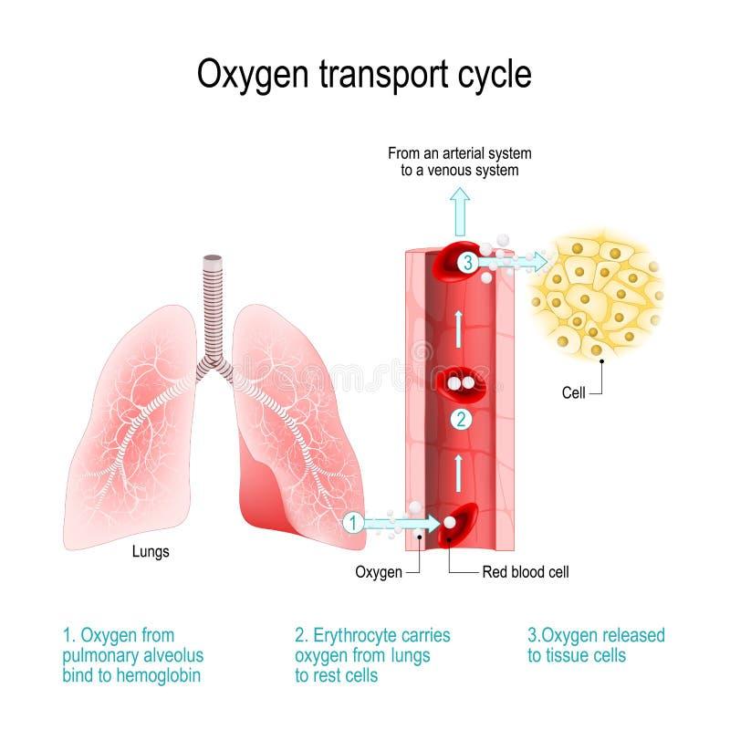 De cyclus van het zuurstofvervoer Gasuitwisseling in de long stock illustratie