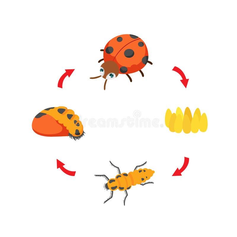 De cycluslieveheersbeestje van het illustratieleven stock illustratie