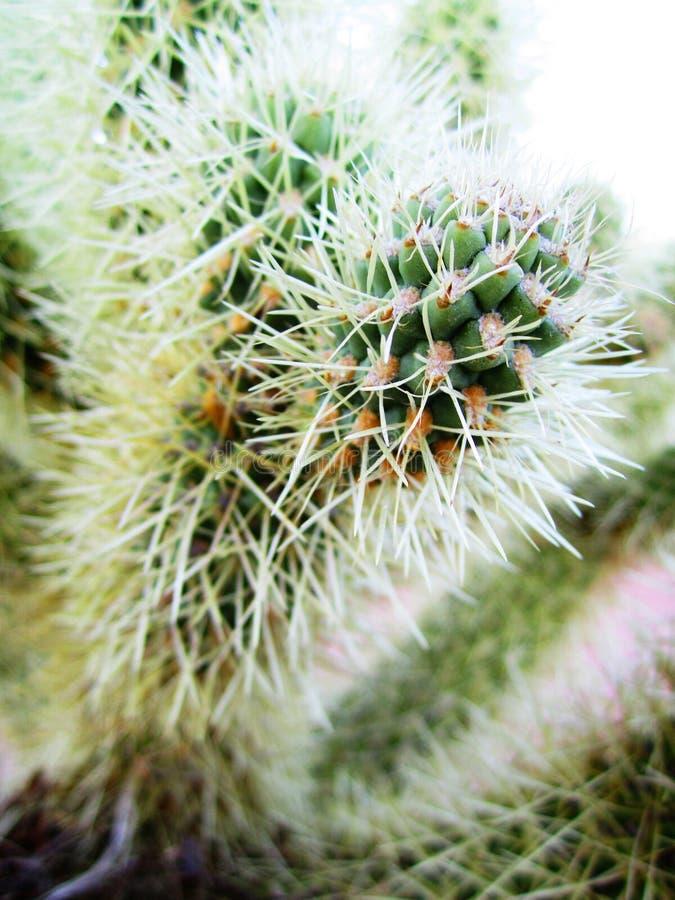 De désert de cactus transitoires de blanc de fin  photo stock