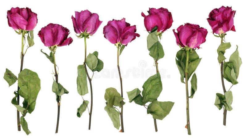 De döda rosa rosorna för uttorkning-upp från en bröllopbukett royaltyfri bild