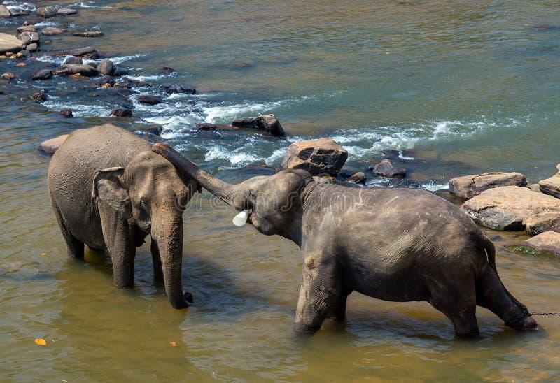 De dag van Valentine ` s - het Kussen olifanten en het spelen in rivier, Sri-La royalty-vrije stock foto's