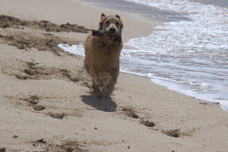 De Dagen van de hond bij het Strand stock afbeeldingen