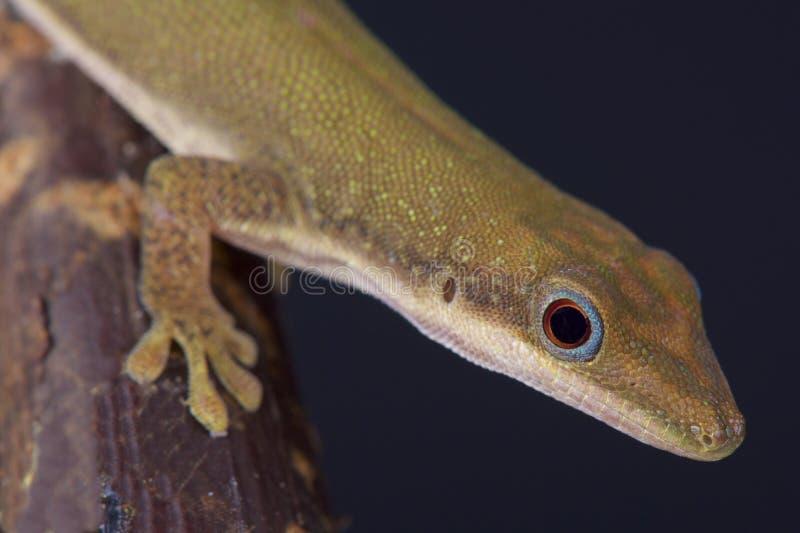De daggekko van Zanzibar/Phelsuma-dubia stock afbeelding