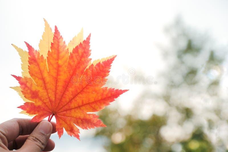 De daling en Autumn Season Concept, Close-up van Hand heffen op Esdoorn L op royalty-vrije stock foto's