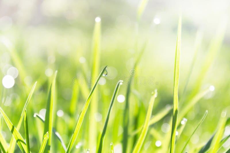 De daling van dauw op een groen grassprietje, springt vers jong gras in de dauw en de fonkelingen van de stralen van de zon op stock afbeeldingen