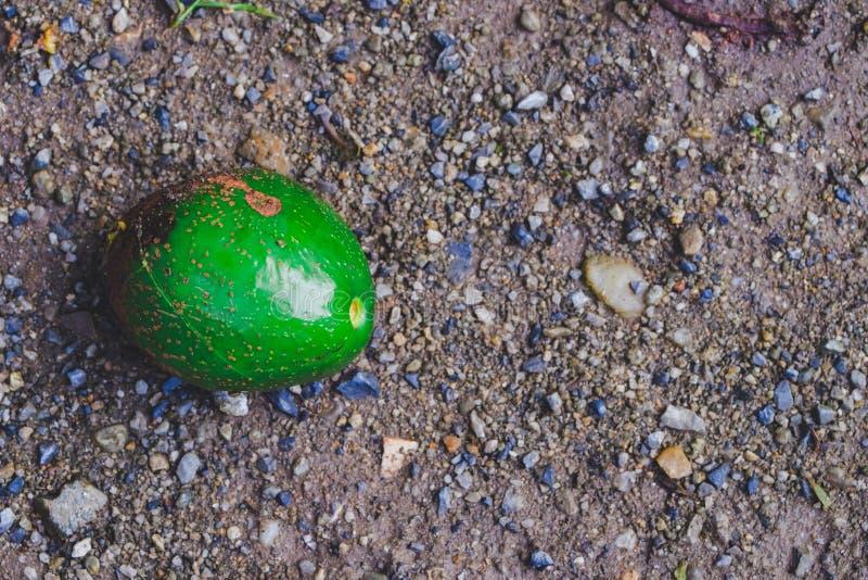 De daling van het avocadofruit van boom stock fotografie
