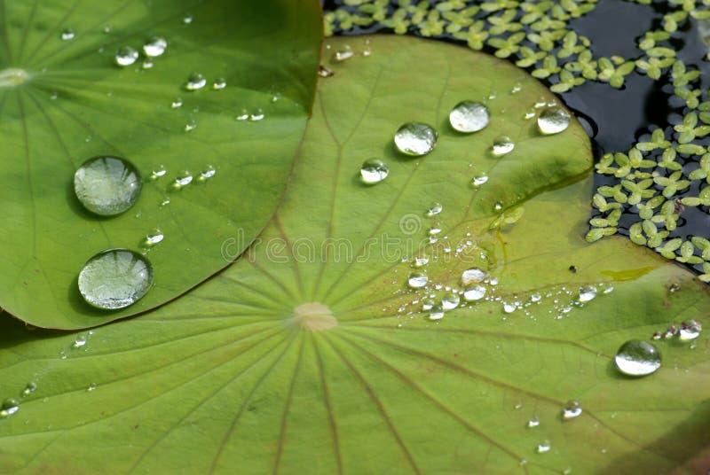De Daling van het water op het Blad van Lotus royalty-vrije stock fotografie