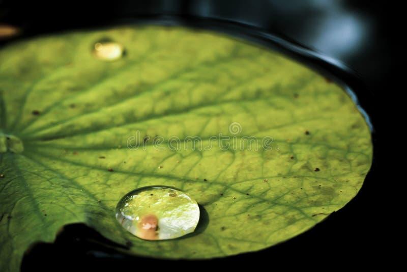De daling van de waterdauw in ochtend op blad met zonlicht De dekking van de close-upregendruppel op het blad na regenachtige dag stock foto's
