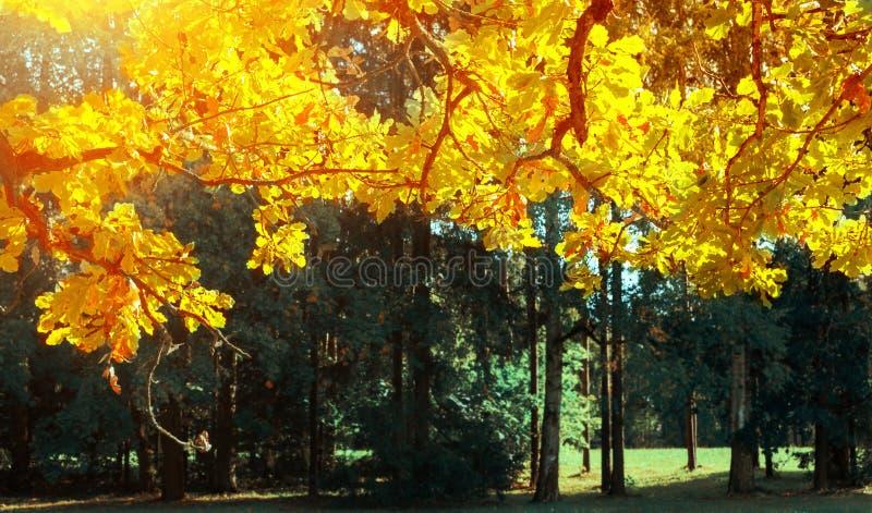 De daling verlaat achtergrond - eiken boomtak met oranje die gebladerte door zonneschijn, zonnig dalingslandschap in helder zonli stock afbeelding