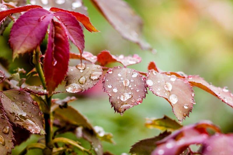 De dalingen van dauw of regen op de bladeren van namen toe Natte bladeren van roses_ royalty-vrije stock foto's
