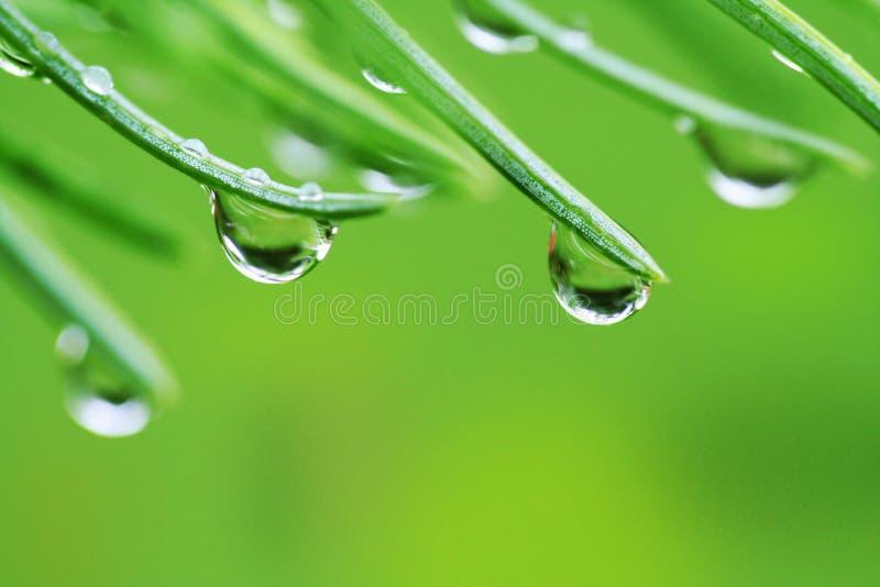 De dalingen van de regen op pijnboomnaalden stock afbeelding